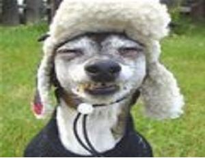 A Terrier breed dog with eyes closed, wearing  a hat with ear flaps